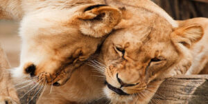 Ljubezen - lev